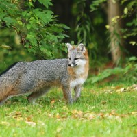 Synchronicity and the fox dream
